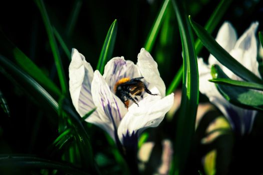 Bumblebee on flower by Pertti