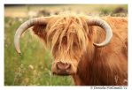 Hieland Coo by TVD-Photography