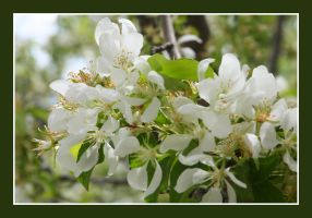 Spring Blossoms by greenwalled1