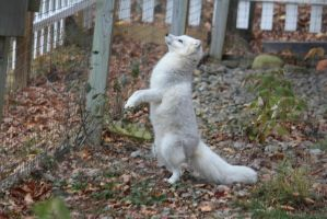 Arctic Fox Stock 16: Standing by HOTNStock