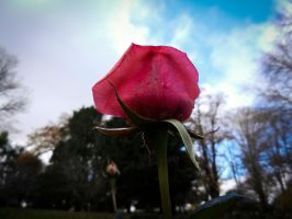Rose Drops by SByrnes