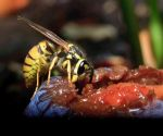 A hungry wasp by luka567