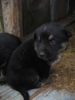 German Shepherd Puppy--Gaze by laurabethstock