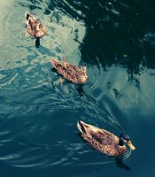 Three Little Ducks by arabienne