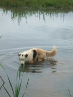 White Border Collie 46 :Stock: by WesternStock
