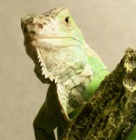 Regal Iguana by Not-Think