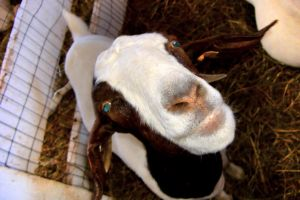 Goat by Sidneys1