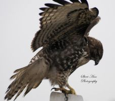 Hawk getting ready for take off sheri ann by Sheriannphotography