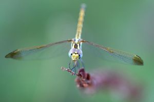 dragonfly by lisans