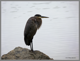 Heron stare by Mogrianne
