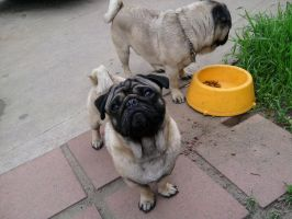 Pugs by Leopardstarinsanity