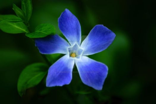 Blue petals by NewbiePhotographique