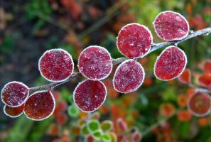 white frost on red leaves by April-Mo