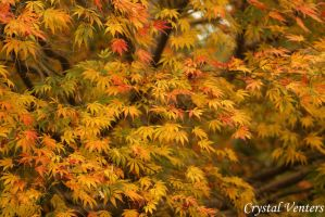 Japanese Maple 2 by poetcrystaldawn