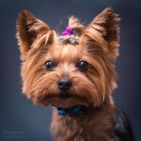 yorkshire terrier -2 by Kelshray-photo