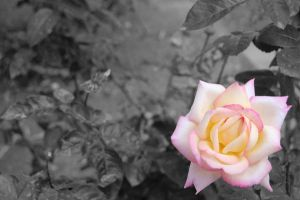 Pink Rose in Black and White by Ym2d