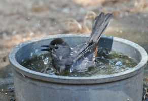 Catbird Enjoying a Dip by Tailgun2009