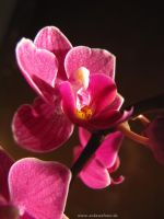 Orchid by ankewehner