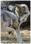 Mexican Wolf 042 by ShineOverShadow