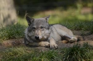 WSC Young Wolf 1 by Lakela