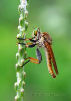 Nice to meet you Mr.Robberfly by diensilver
