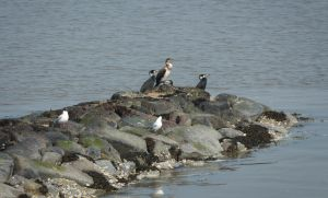 Great Cormorants and Seagulls on the Pier. by Danimatie