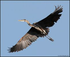 Great Blue Heron in Flight by EWilloughby