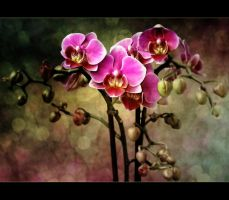 Orchids by kyptanuy