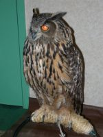 Eurasian Eagle Owl Side View by mmad-sscientist