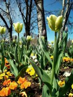 Tulips. by TinaaKc