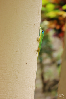 Gecko by NicoleWilliam