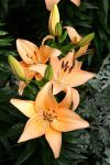 Beige Day Lillies by olearysfunphotos