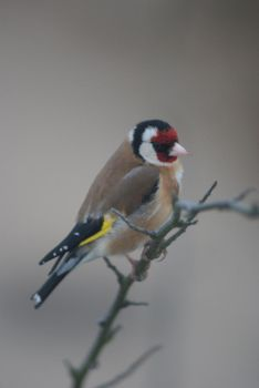 Goldfinch by little--grasshopper