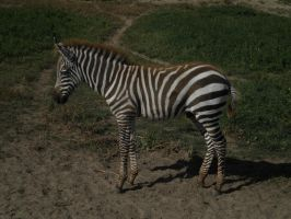 Zebra Foal 3 by EquideDesigns