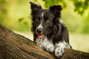 Kendo Border Collie by Psotkens
