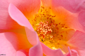 Rose up close 2 by M-L-Griffith