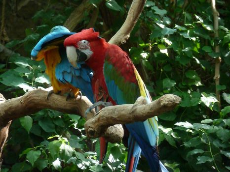 Macaws by IanM