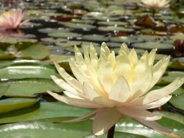 Water Lilly by LDBussell