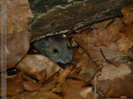 wild baby mouse by KIARAsART