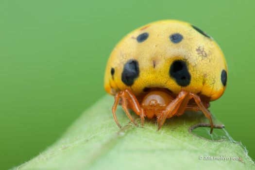 Ladybird spider Paraplectana sp. by melvynyeo