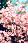 Pink Dogwood Blooms by teresastreasures72
