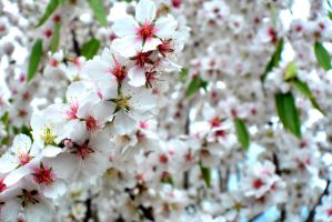 Almond Blossoms-A by OPTILUX