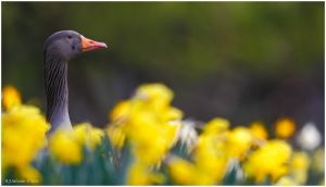 Greylag In The Daffs by andy-j-s