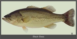Black-Bass by GraphicDream