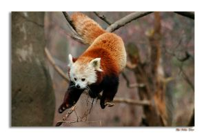 Red Panda by ladynightseduction