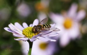Hoverfly by tjuh