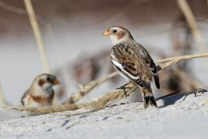 Sand Buntings by mydigitalmind