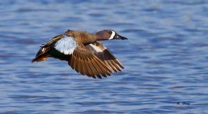 Blue Wing Teal by Grouper