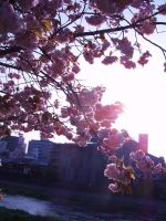 blossoms.. by OzeanKatze