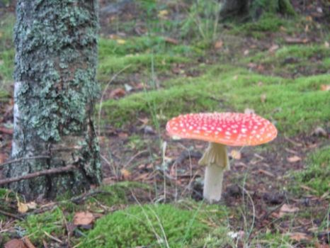 Fly agaric II by mieliliito